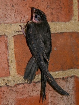 CHSW_Chimney-Swift_baby_0005_rsz_ct