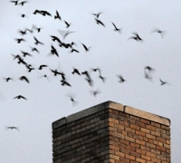 swifts-entering-chimeny_jim-williams_72ppi