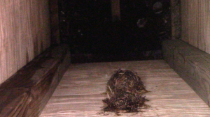 A nest, likely left over from 2014, from a chimney swift that visited CSIA's chimney swift tower.